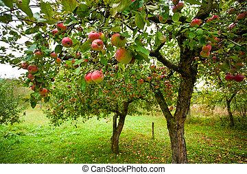 manzana, árboles, con, manzanas rojas