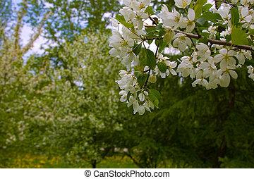 manzana, árboles, florecer