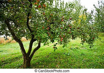 manzana, árboles, huerto