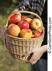 manzana, cosecha