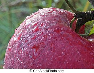 manzana, el, robin