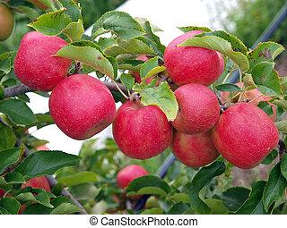 manzanas, en, el, árbol