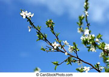 manzano, en el flor