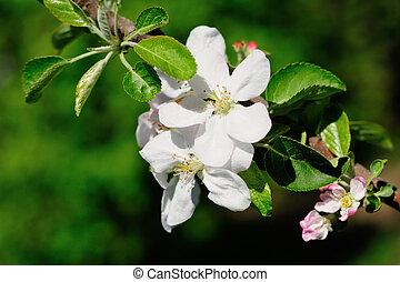 manzano, flor