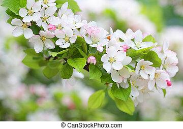 manzano, rama, con, puro, blanco, flores, en, primavera