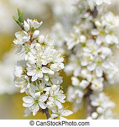 manzano, rama, en el flor, en, primavera