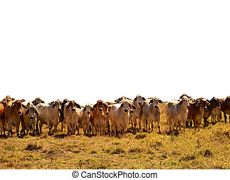 manzo, isolato, gregge, fondo, bestiame, mucche, brahman