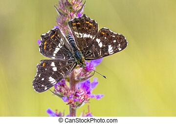 Map Butterfly on purple flower - Wild European Map Butterfly...