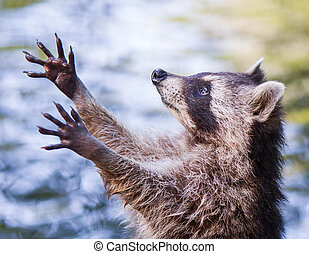 mapache, alimento, mendigar