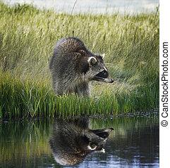 mapache, en, herboso, banco