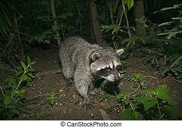 mapache, norteamericano, norte, lotor de procyon