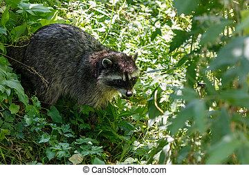 mapache, norteamericano, norte