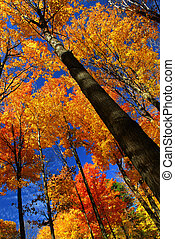 maple, árvores, outono