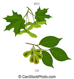 Maple and elm leaves seeds vector green acer leaf samples -...