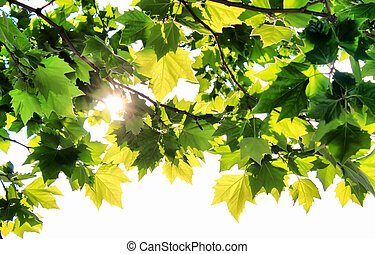 Maple and sun
