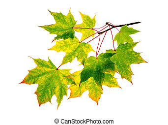 Maple autumn leaves isolated .