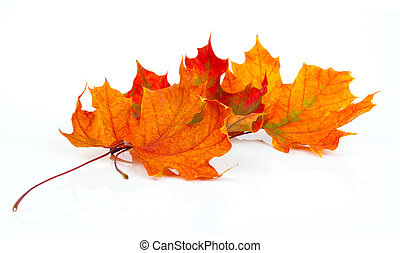 maple autumn leaves isolated on white background