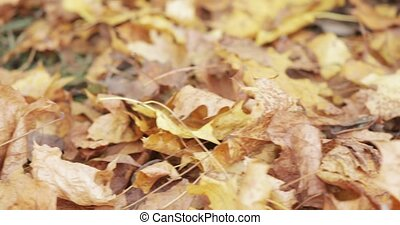 Maple autumn leaves lying on the green grass