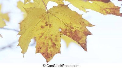 Maple autumn leaves on a background of bright sky