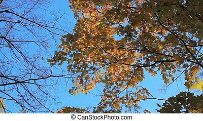 Maple - Autumn maple