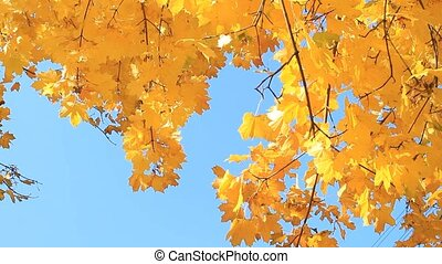 Maple autumn tree