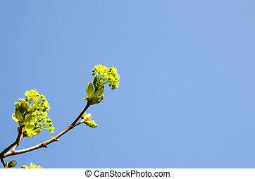 Maple blossom closeup