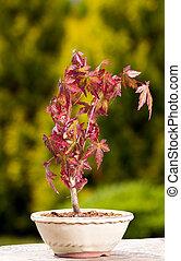 Maple bonsai in the pot