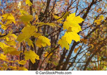 Maple branch in autumn