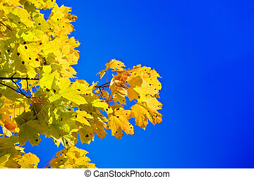 Maple branch on a background of the blue sky