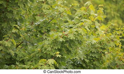 Maple branch swaying in wind
