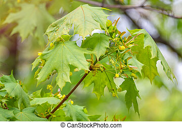 Maple branch with fresh green leaves