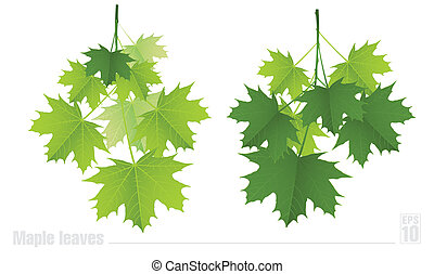Maple branch with green leaves on a white background.