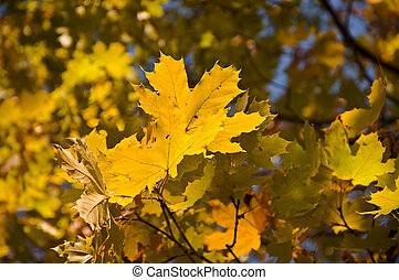 Maple branch with yellow leaves. Shallow depth of field. Close-up. Autumn tree.