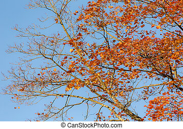 maple branches with autumn foliage
