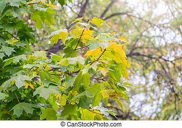 Maple branches with green and yellow leaves in autumn, in the light of sunset.