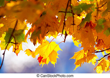 Maple branches with yellow leaves