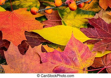 Maple colorful leaves background