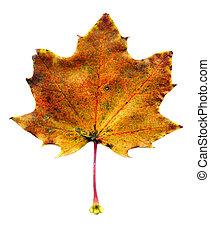 Maple fall leaf - Close up of maple autumn leaf on white...