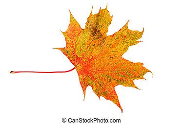 Maple fall leaf. Colorful autumn leaf isolated on white.