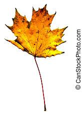 Maple fall leaf