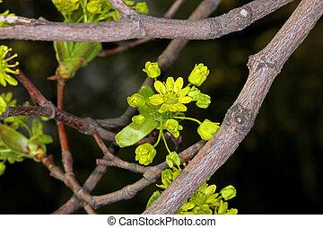 Maple flowers in spring