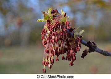 Maple flowers on an early frosty spring morning against a park background