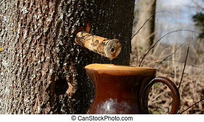 maple fresh sap drops - spring maple fresh sap drops in the...
