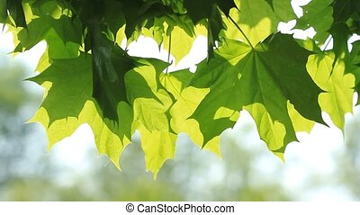 Maple green leaves and sunlight