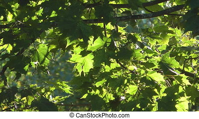 Maple. - Green maple leaves.