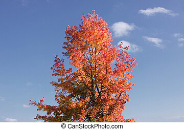 maple in autumn with red and orange leaves