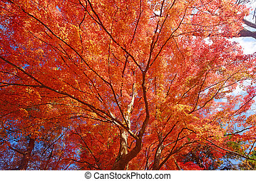 maple in kyoto