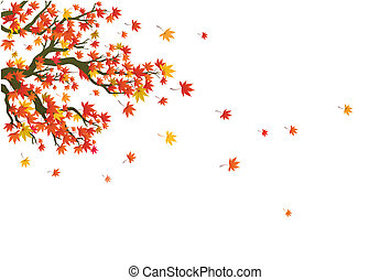 maple in the autumn - maple tree and the leaves are falling ...