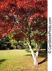 maple japonês, (acer, palmatum), crescendo, em, leste,...