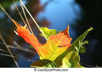 Single maple leaf on grass close up